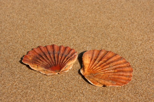 two-flat-sea-shells-sand-1794160.jpg