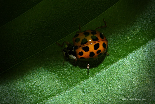 IMG_0062-Lady-beetle-Rutherford-Co.-WNC-Kenneth-D.-Ramos-May-15th-2021.jpg